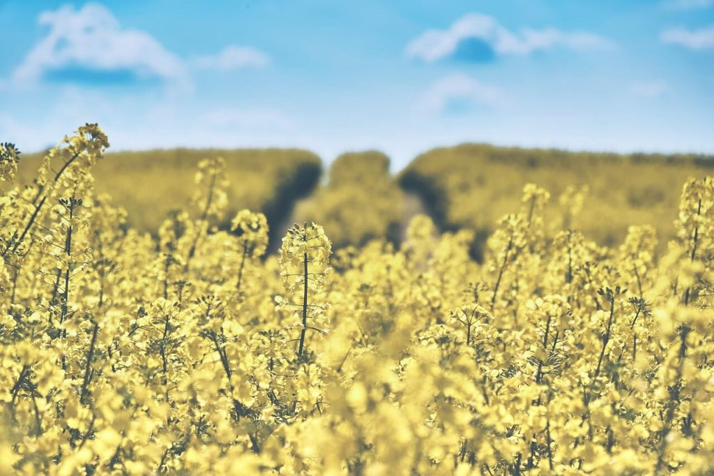 field-of-rapeseeds-1433380_1280