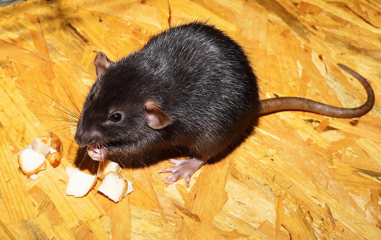 rat-2804058_1280